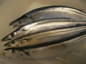 日本海ではぶり漁が始まり~