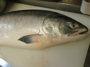 「時しらず」という名前の大きい鮭が~